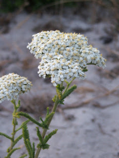 Small bunch of white yarrow flowers, with thin green stems.